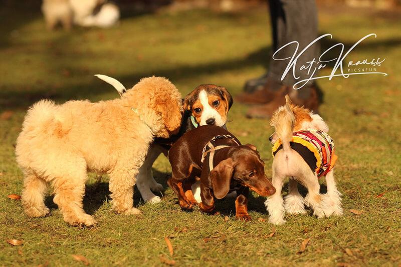 Welpenspiel- und Prägestunden für kleinere Hunde
